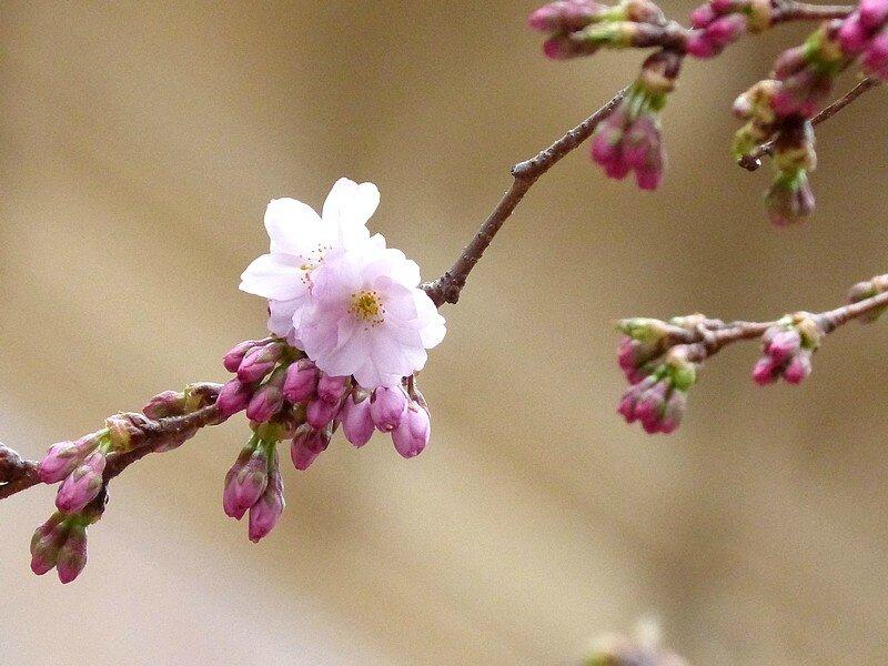 cerisiers d'ornement