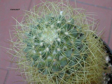 Mammillaria_pringlei