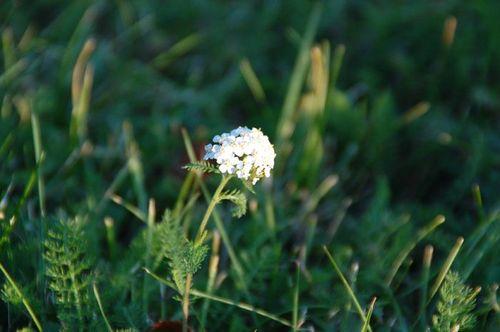 03-11-11 Petite fleur des champs