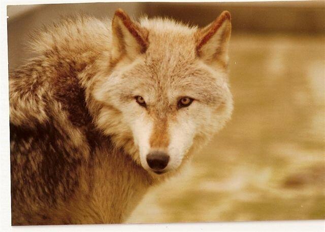 loup de Montevran