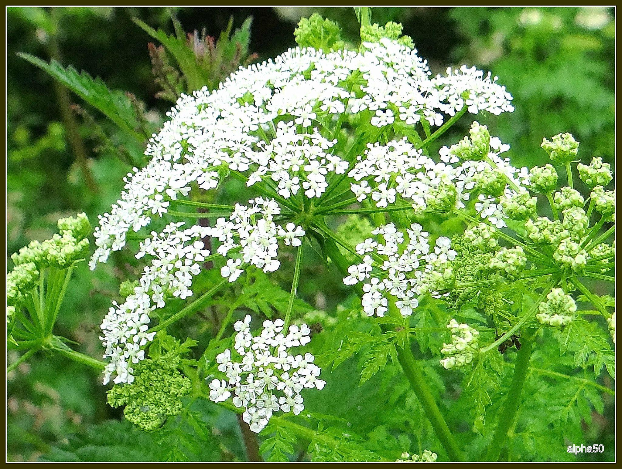 Cigue 6 - Fleur de poison ...