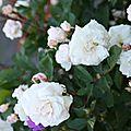 Roses du jardin fin Mai 2009 (113)