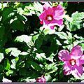 Althéas roses 080715
