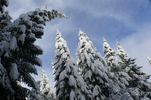 2008 12 17 Les sapins qui plient sous le poid de la neige