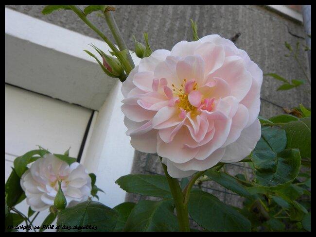 rosier_grimpant_1