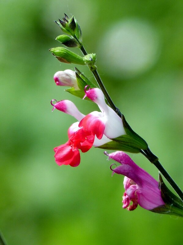 Salvia Hot Lips (3)