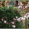 Prunus 1103152