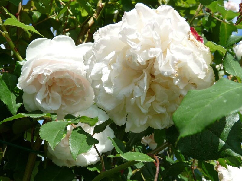 roses_lyonnaises-Mme_Alfred_Carriere