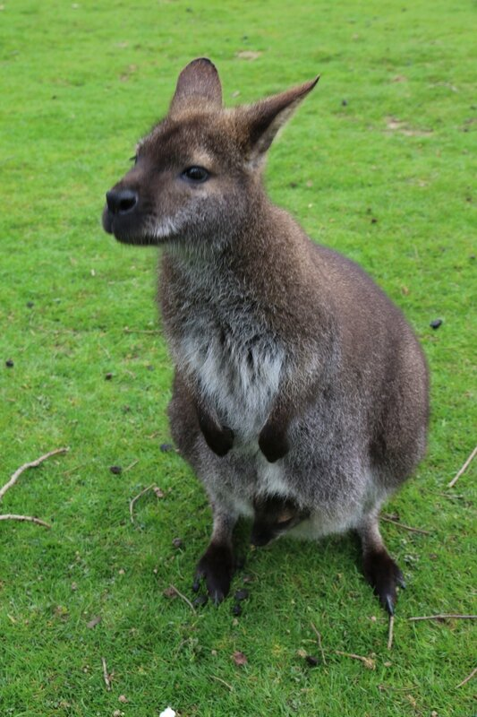 wallaby4