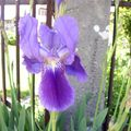 Iris barbu (iris germanica)