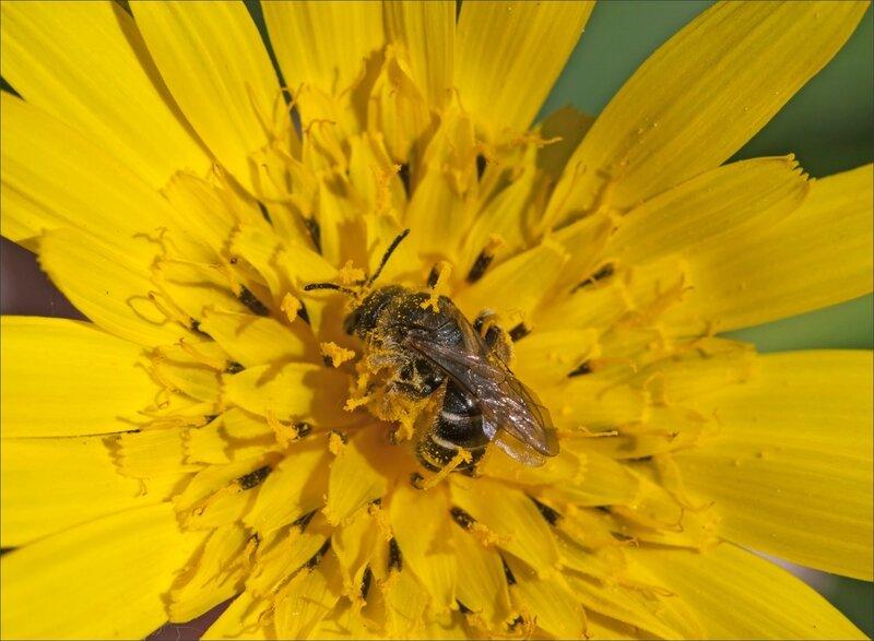 Galuchet fleur jaune abeille pollen 1 190417