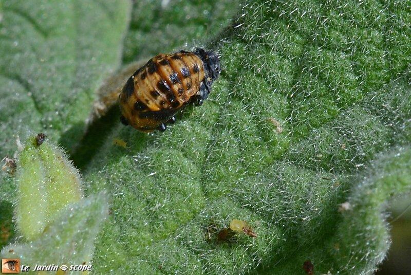Hippodamia-variegata-nymphe