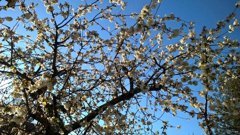 Cerisier en fleurs - 26 mars 2017