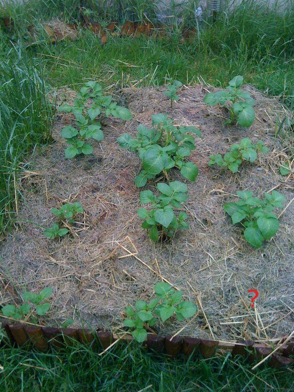 du c t des pommes de terre j 39 ai une souris dans le compost. Black Bedroom Furniture Sets. Home Design Ideas