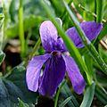Aimez vous les violettes?