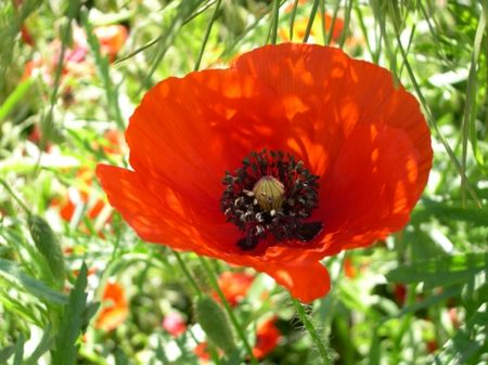 fleur_coquelicot_campagne_gers_valence_433620
