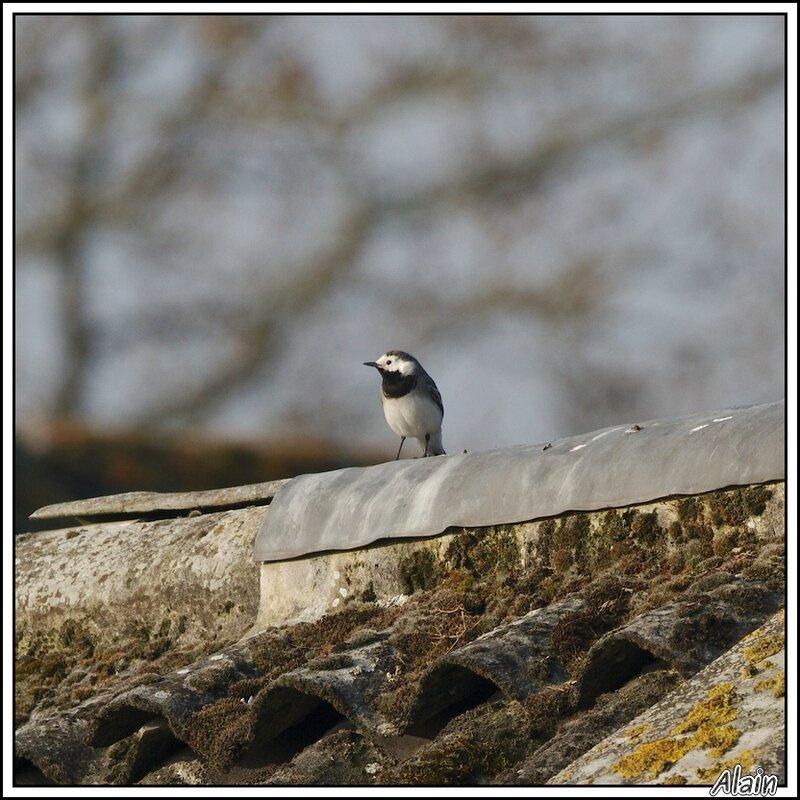 jolie bergeronnette...sur un toit qui l'est beaucoup moins !