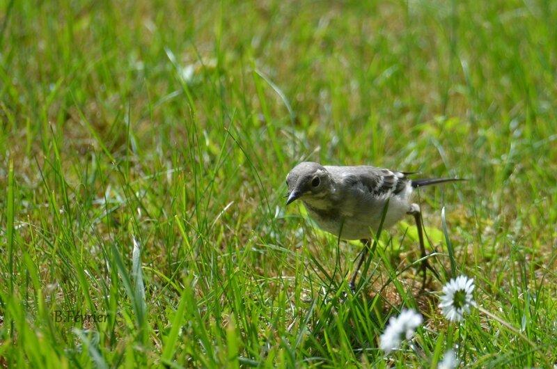 Bergeronnette grise (Motacilla alba)
