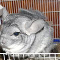 2008 09 27 Le chinchilla