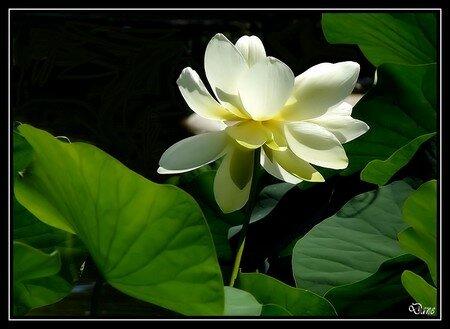 lotus_a