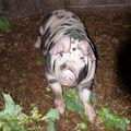 2008 09 27 Un cochon au milieu des choux et de la boue