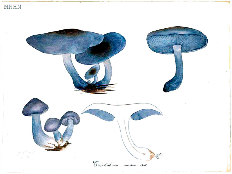198 Tricholoma nudum Bull