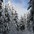 2008 12 17 Des sapins sous la neige