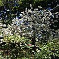 Arbuste blanc_13 25 04_1909