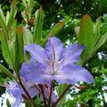 37 - Rhododendron augustini 'Hillier dark form'