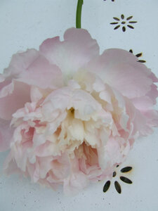 peonie
