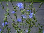 CichoriumIntybus_plant_kl