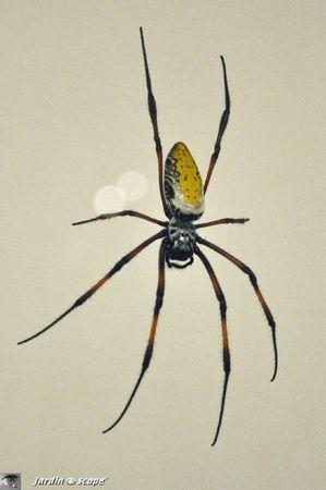 Néphila inaurata madagascariensis