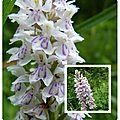 8 orchidée sauvage Dactylorhiza maculata