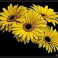 fleurs sur fond noir (1)
