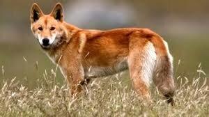 """Résultat de recherche d'images pour """"image de dingoes"""""""