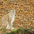 Lynx boréal - Lynx lynx (2)