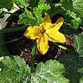 COURGETTES 6