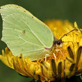 Gonepteryx rhamni (citron)