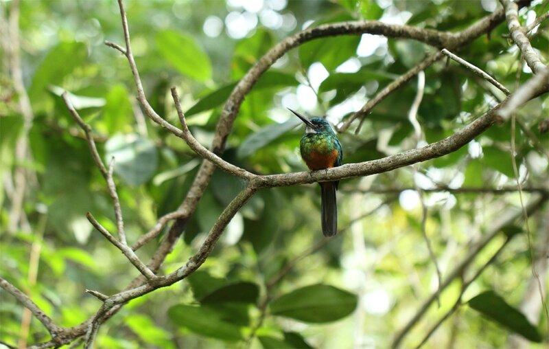 Galbula galbula - jacamar vert (mâle)