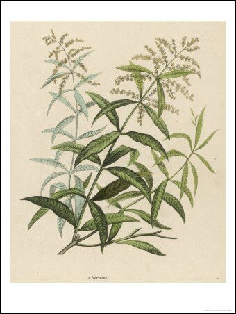 also-called-verveine-or-vervain-n-1877758-0
