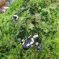 Salamandre sur sphaigne victime d'un prédateur