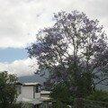 Jacaranda à Cilaos