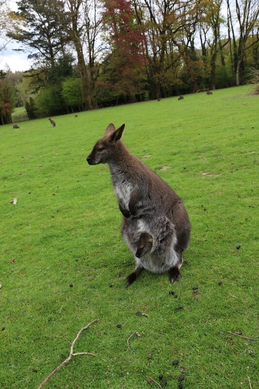 wallaby7