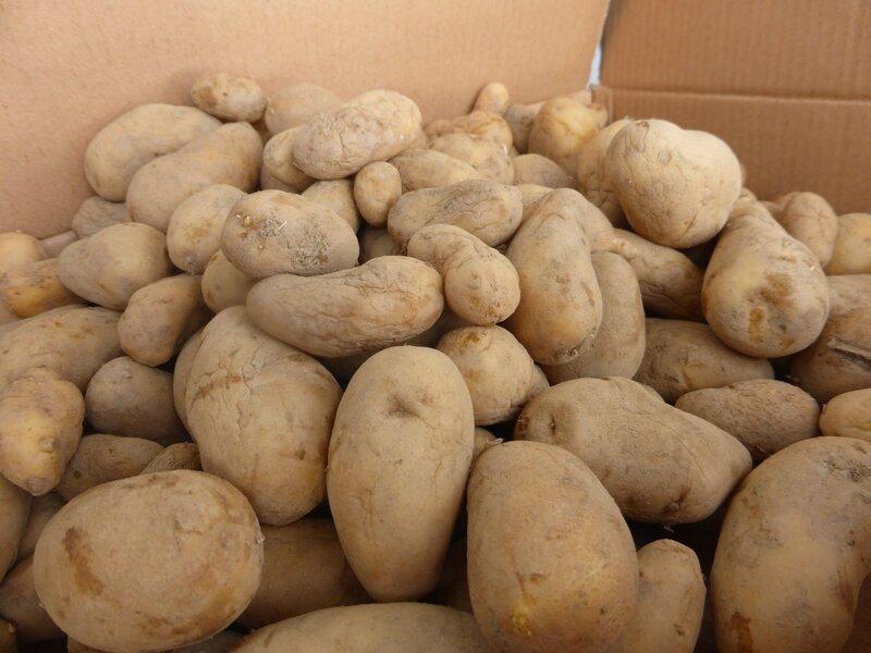 25-pommes de terre-germes (6)