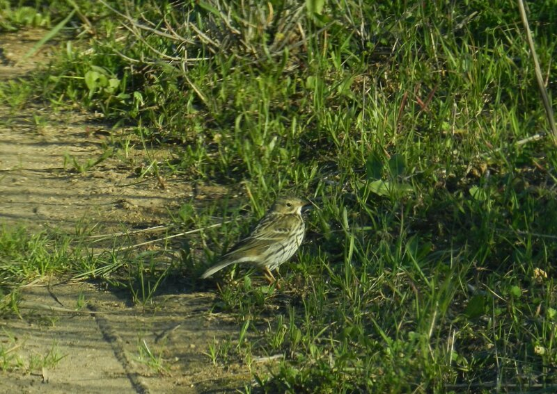 Pipit farlouse ( photo prise par gypa )