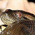Eunectes murinus - Anaconda vert (jeune)