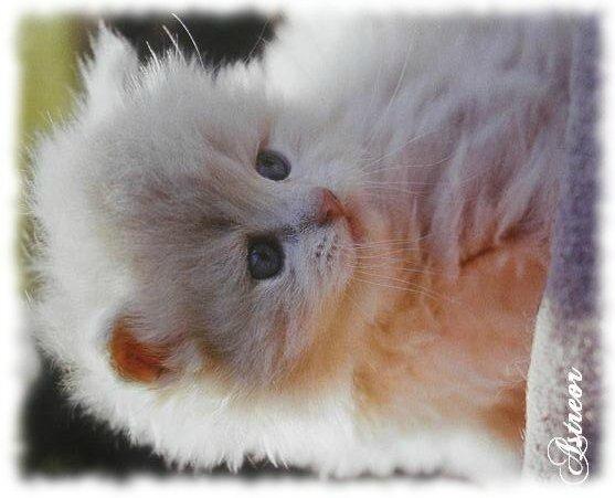 Le persan blanc