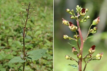 La scrophulaire noueuse une plante anti inflammatoires les plantes oubli es - Noms de plantes aquatiques ...