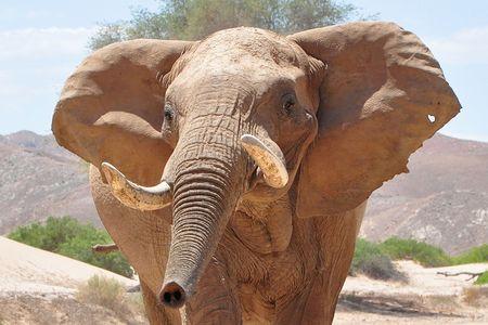 Eléphant du désert, rivière Hoanib, Namibie