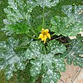 COURGETTE 6
